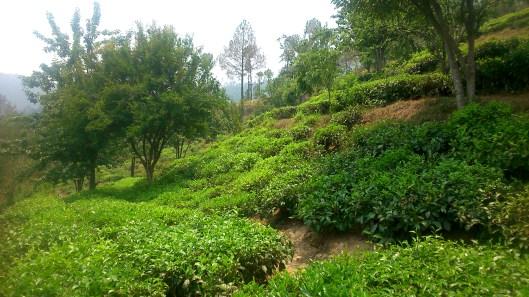 The Famous Tea Gardens